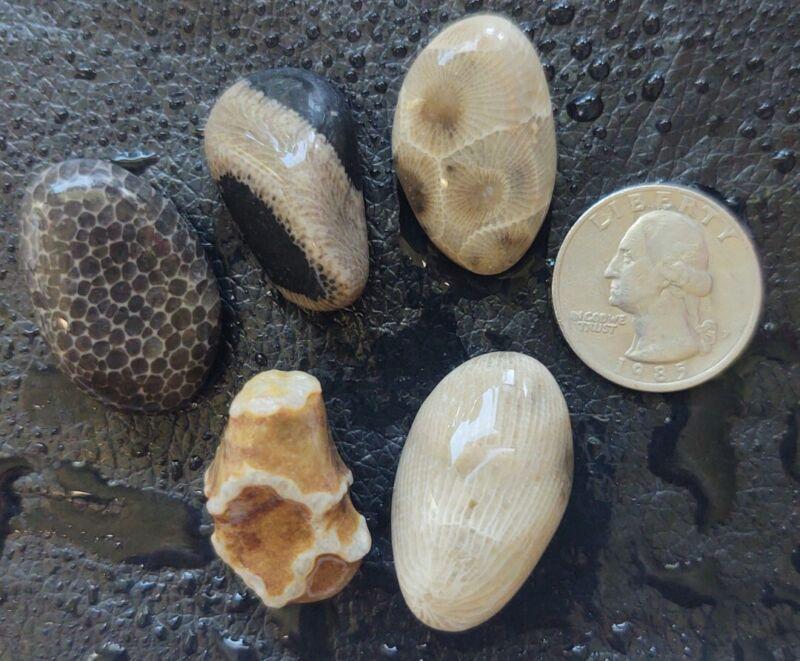 5 BEAUTIFUL Unpolished MICHIGAN FOSSILS petoskey stone Hexagonaria horn coral c6
