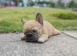 Lying Down Sleeping French Bulldog Puppy Life Like Figurine Statue Home Garden