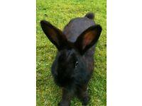 Male bunny
