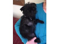 5 year old Affenpinscher spayed bitch looking for a forever home.