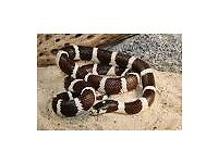 California king snake free 2 gd home