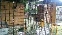 Sun Conure and Nansun breeding pair Blacktown Blacktown Area Preview