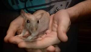 Extremely rare Shynx Rats