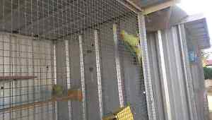 Two Indian Ringnecks for sale Roseworthy Gawler Area Preview