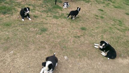 Border collie puppies Guyra Guyra Area Preview