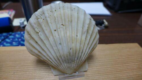 GEOLOGICAL ENTERPRISES Pliocene fossil scallop Chesapecten madisonius N. C.