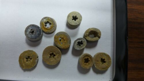 GEOLOGICAL ENTERPRISES Pennsylvanian Fossil Crinoid Stems  with star centers