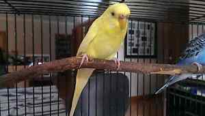 Young Female Yellow Budgie $10 Freshwater Creek Surf Coast Preview