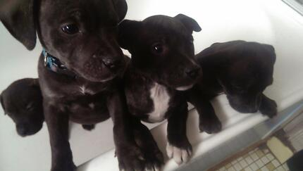 English Staffordshire Puppies Thomastown Whittlesea Area Preview