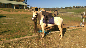 Palomino Welsh Filly Evanston Park Gawler Area Preview