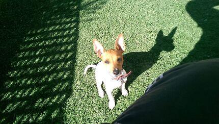 Mini Fox terrier  Miranda Sutherland Area Preview