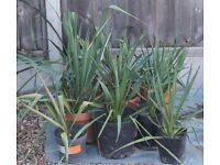 YUCCA TROPICAL HARDY EASY GROW PLANT, DISCOUNT FOR QUANTITY, CAN DELIVER