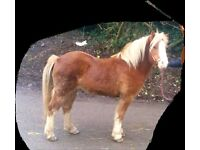 11.3hh welsh pony