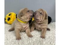 KC Shar Pei puppies