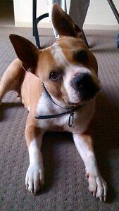 DOG NEEDS BABYSITTING Adelaide CBD Adelaide City Preview