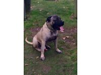 Cane Corso Italiano Mastiff**ONE OF A KIND**