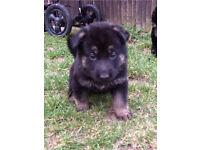 German Shepherd puppies for sale £650