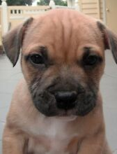 English Staffy puppy Wanted Airport West Moonee Valley Preview