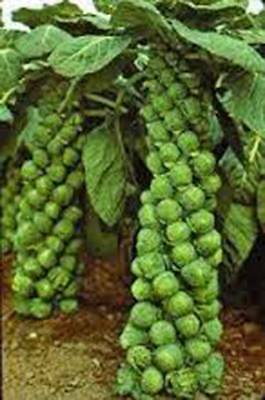Brussel Sprouts Seed  Catskill  Heirloom  Organic  Non Gmo  25  Seeds  Garden