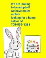Friendly male rabbit lookiing to be adopted