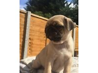 PUG PUPPIES KC REG