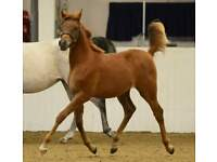 stunning graded Arab mare