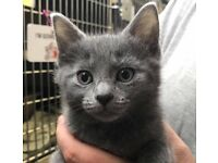 CHEAP Russian Blue Kittens