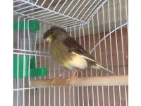 Canary with new cage