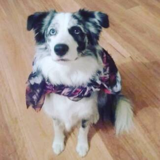 Wanted: WANTED Red and white Border Collie