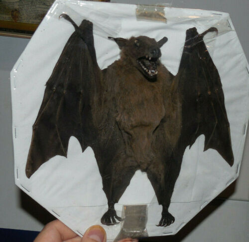 ROUSETTUS LESCHENAULTI REAL HALF SPREAD BAT INDONESIAN TAXIDERMY