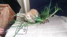 Selling 3 beautiful lop earred bunnies Yagoona Bankstown Area Preview