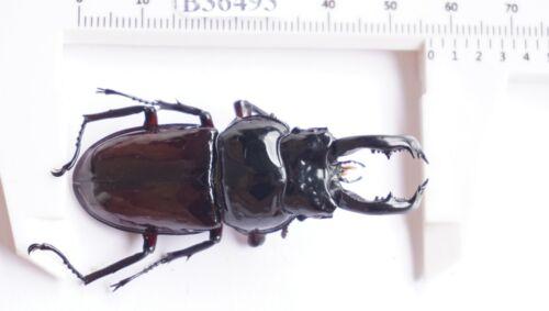 B36493 - Lucanus lucanide PS. Beetles HA GIANG vietnam 56MM