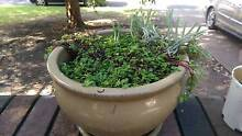 Various small pot plants Willoughby Willoughby Area Preview