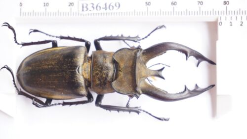 B36469 - Lucanus thibetanus PS. Beetles SAPA vietnam 78MM