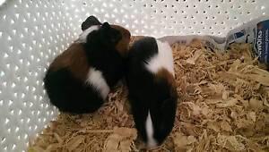 Cute pair of baby boy guinea pigs Turramurra Ku-ring-gai Area Preview