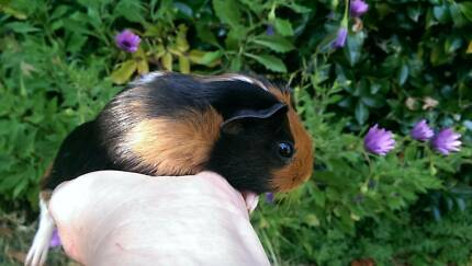 Sweet Baby Girl Guinea Pigs