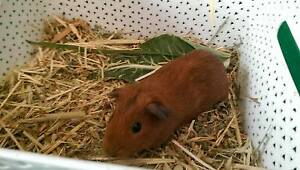 Baby Guinea pig North Turramurra Ku-ring-gai Area Preview