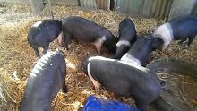 Wessex saddleback piglets for sale Toowoomba Surrounds Preview