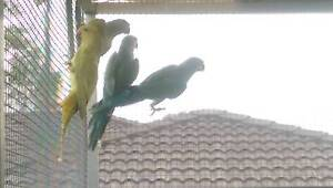 Indian Ringneck from $50 to $80 each ONLY 2 LEFT Jimboomba Logan Area Preview