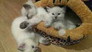 Purebred Ragdoll kittens Roselands Canterbury Area Preview