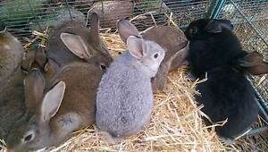 Flemish cross rabbits Munno Para Playford Area Preview