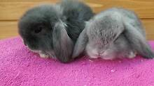 BLUE & CHOCOLATE  MINI LOP QUALITY CARE VACCINATED START UPDEALS Londonderry Penrith Area Preview