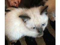 Birman cross kittens