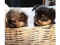 6 long hair chihuahua puppies