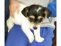 Jack russell x yorkshire terrier