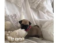 Kc registered pug puppies forsale