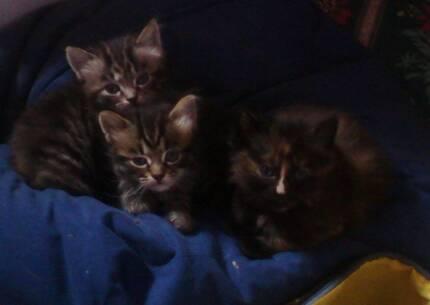 Kittens 5 weeks old