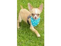 Male chihuhaua PRICE DROP