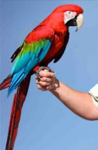 Looking to adopt a Greenwing Macaw