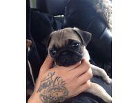 Gorgeous KC Pug for sale
